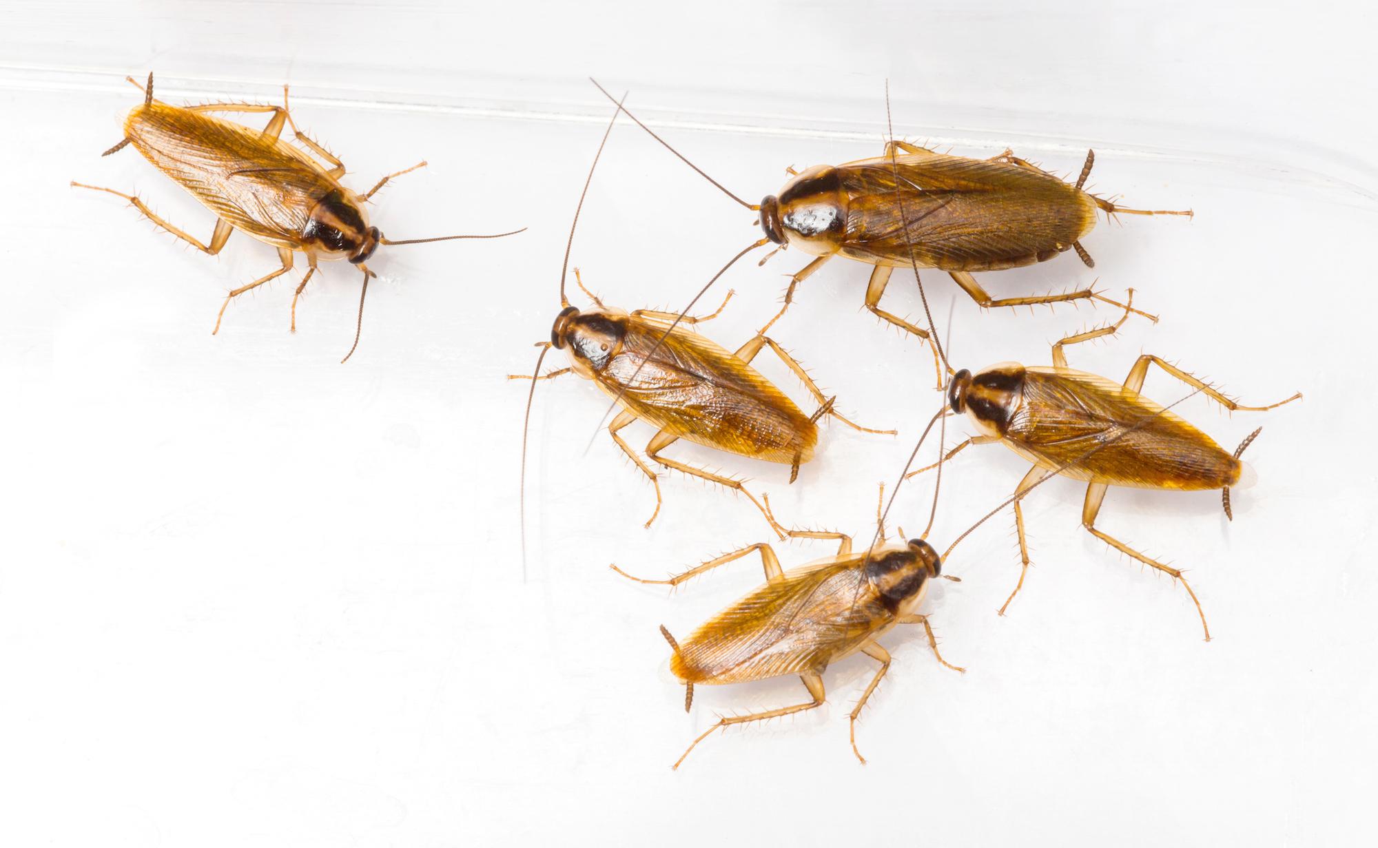 Cockroaches | Peregian Pest Control