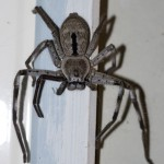 Grey Huntsman Spider